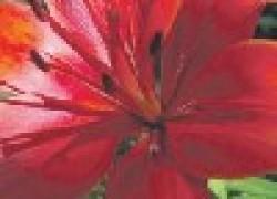 Подрезка отцветших лилий