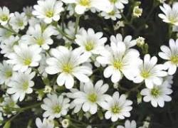 Ясколка - цветы, растущие на камнях