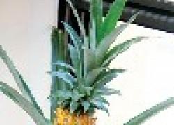 Как выращивают ананас