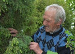 Выращивание сосны в черноземье