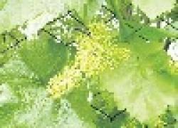 Виноград в опасный период