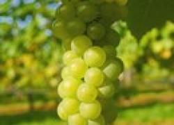 Советы виноградарю