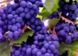 Начинающему виноградарю
