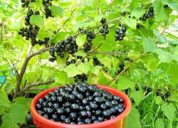 Чем подкормить ягодники