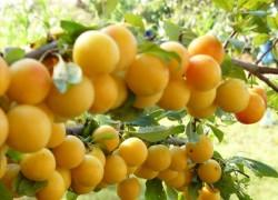 Как правильно посадить абрикос