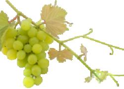 Что делать, если сломался единственный побег винограда