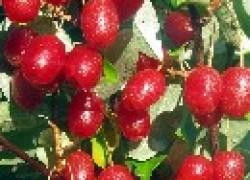 Гуми – дикая маслина