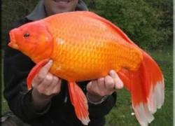Самая большая золотая рыбка