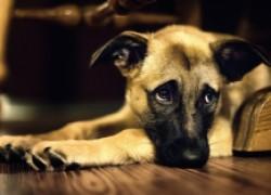 Рана на хвосте у собаки