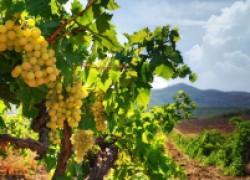 О поливах винограда