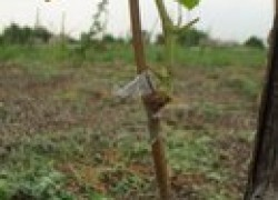 Перепрививаем виноград