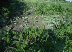 Где растет кукуруза, там крестоцветная блошка не водится