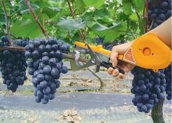 Инструмент для подвязки винограда