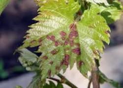 Признаки болезней винограда