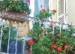 Герань для балкона