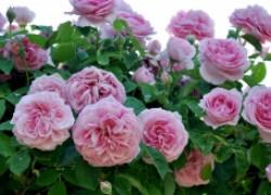 Каких элементов не хватает вашим розам и чем их подкормить (таблица)