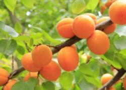 Июль – самое время омолодить абрикос