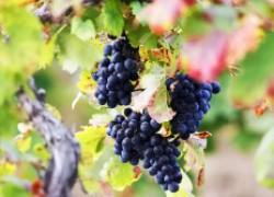 Чем подкормить виноградную лозу?