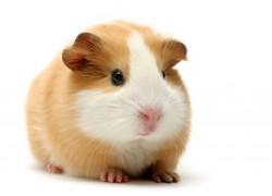 Почему растолстела морская свинка
