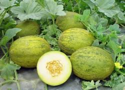 Как правильно вырастить рассаду дыни