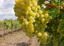 Внекорневые подкормки защитят от болезней виноград