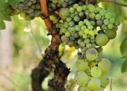 Почему виноград похож на горох