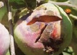 Как бороться с паршой яблони
