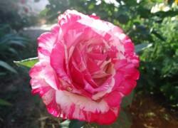 Как справиться с тлей на розах?