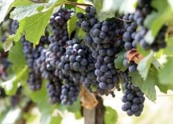 Сорта современного винного винограда