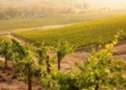 Виноград: что и когда обрезать