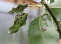 Почернели листья на груше?