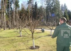 Готовим персики к плодоношению