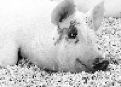 Опасная свиная рожа