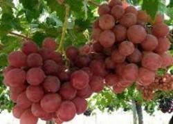 Сорта винограда, которые растут у меня
