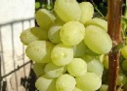 Про распространенные сорта винограда