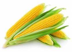 Сахарная кукуруза - как съесть самим урожай