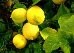 Свои лимоны