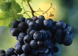 Вредители и болезни винограда
