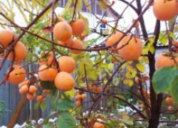 Выращивание хурмы