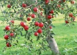 Яблоня в дизайне
