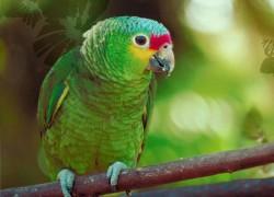 У попугая опухла лапка