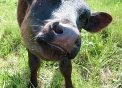Стимулятор роста для бычков