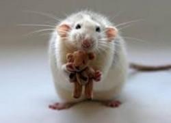 Опухло ухо у крысы