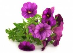 Февраль: пора сеять петунии