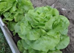 Весна – пора сажать салат и становиться здоровее
