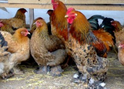 Орпингтоны – новая порода кур