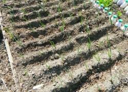 Мой опыт посадки севка на лук-репку
