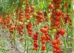 Где растут томатные деревья