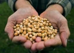 Выращиваем южные бобы: маш и нут