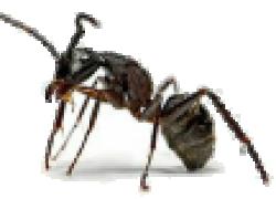Как победить муравьев